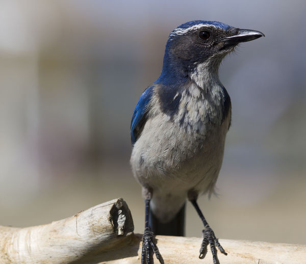 Close-up Of Scrub Jay Perching On Wood