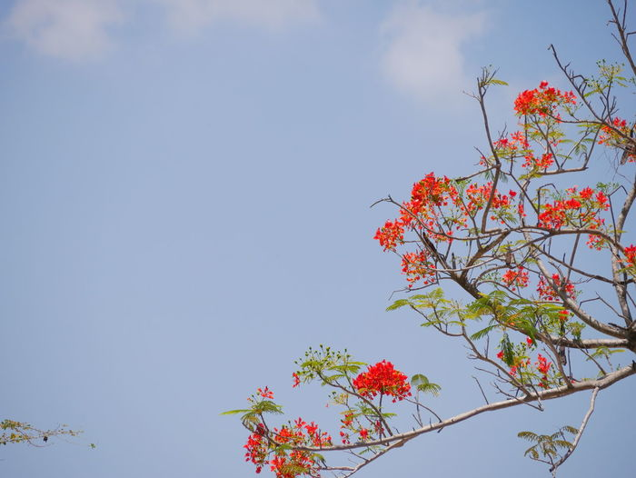 Flame tree Sky Plant Low Angle View Tree Growth Beauty In Nature Nature Flowering Plant Flower Copy Space Day No People Branch Freshness Outdoors Fragility Vulnerability  Autumn Cloud - Sky Plant Part Change Cherry Blossom