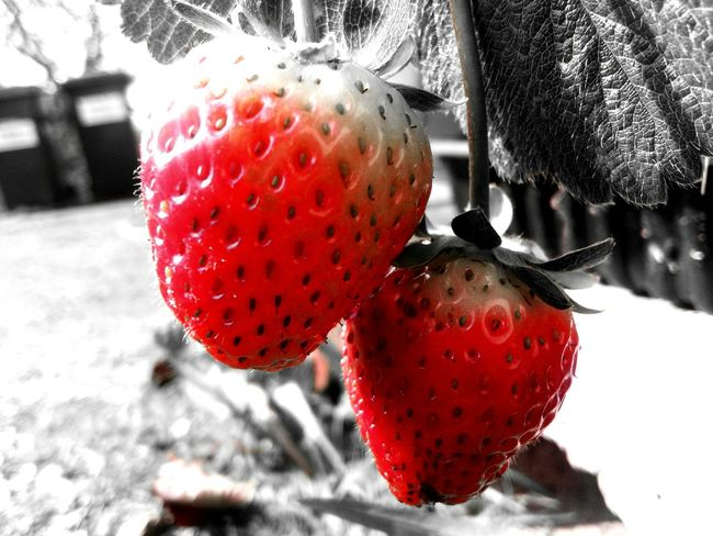 Strawberries ♡ Strawberries Strawberries Red STRAWBERRIES♡ Strawberries From My Garden Strawberry Love Vivid Color Juicy Juicy Fruit Juicy Juicy Red Strawberries Red Red Fruit Red Plant Visual Feast