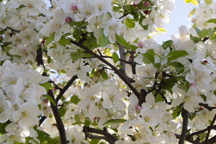 Flowering Plant Flower Plant Beauty In Nature Fragility Vulnerability  Growth Freshness Tree Springtime White Color Close-up Branch Blossom No People Day Nature Petal Full Frame Backgrounds Outdoors Flower Head Cherry Blossom Spring Cherry Tree