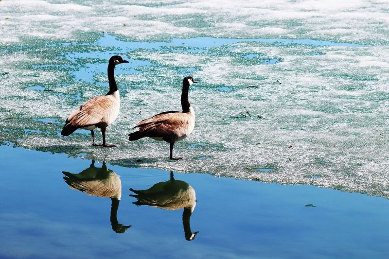Canada goose Bird Water Animals In The Wild Animal Wildlife Animal Themes Animal Vertebrate Reflection Group Of Animals Lake Nature Canada Goose Floating On Water Water Bird