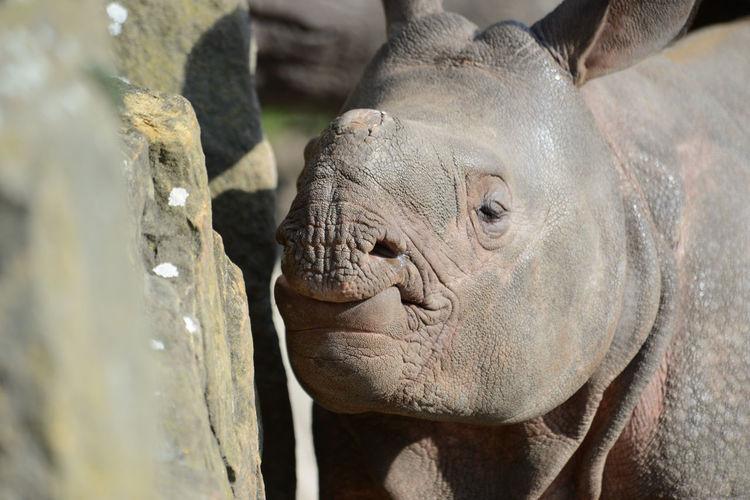 Close-Up Of Rhinoceros Calf