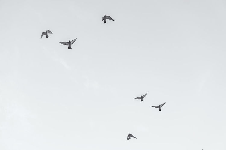Close-Up of Flock of Pigeons Mid-air Berlin Germany 🇩🇪 Deutschland Horizontal No People Outdoors Animal Themes Animal Bird Flying Mid-air Flock Of Birds Pigeon Dove Black And White Image Low Angle View Spread Wings Day Sky Vertebrate Animals In The Wild Group Of Animals Nature Motion Beauty In Nature