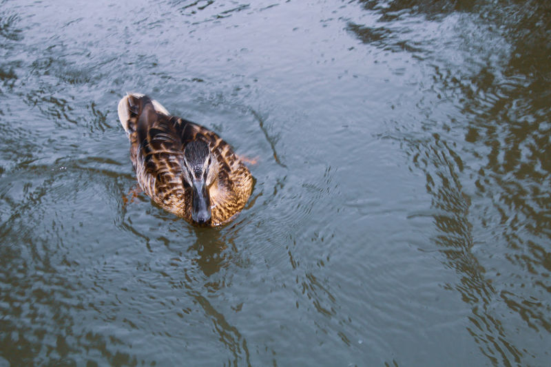 High angle view of duck swimming in river