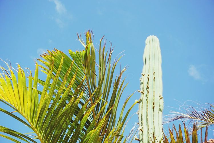palm trees and cactus plants Cactus Palm Palm Tree Palm Leaf Blue Palm Tree Cactus Sky Plant Close-up Growing Saguaro Cactus Succulent Plant Barrel Cactus Spiked Stalk Needle - Plant Part Thorn Young Plant Prickly Pear Cactus Arid Climate Aloe Vera Plant