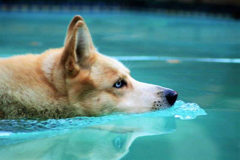 Close-up of siberian husky swimming in pool