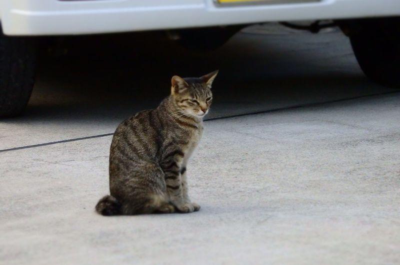 おとなりさん ねこ Pets Domestic Domestic Cat Cat Mammal Feline Domestic Animals