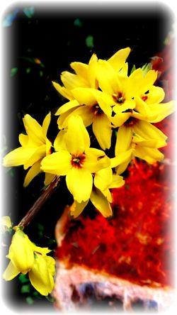 Forsythia Flowers Nature Eye4photography  Eye4nature