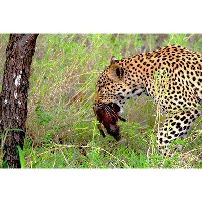 Leopard eating Warthog Kill in Krugernationalpark Natureaddict Animalsaddict Africa Squaredroid Wildlife Igersmp Natgeo Africanamazing