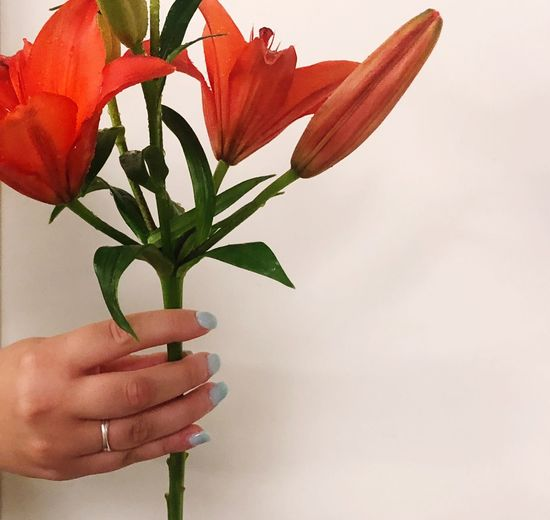 Holding lilies Silver Ring Blue Nailpolish Womans Hand Lilies One Person Human Body Part Close-up Flower Flowering Plant Indoors  Freshness Unrecognizable Person EyeEmNewHere