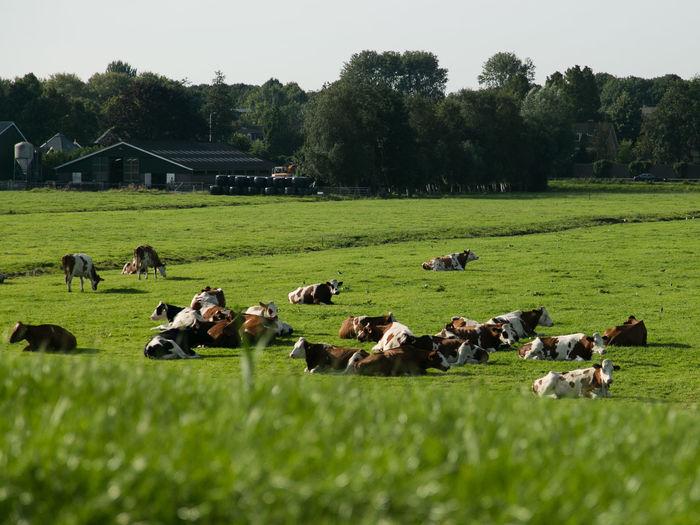 Cows chillin' Animal Themes Cows, Cows In The Field Dike Farm Farmland Field Grass Grazing