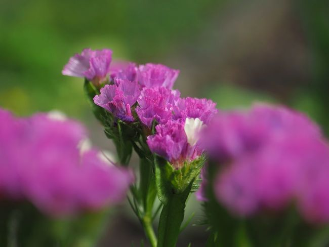 Olympus Poland Beauty In Nature Botany Close-up Day Flower Flower Head Flowering Plant Fragility Freshness Growth Inflorescence Krakow Lilac Nature No People Outdoors Petal Pink Color Plant Purple Selective Focus Vulnerability
