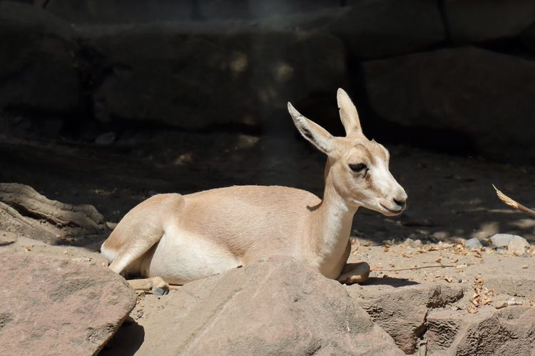 Dorcas Gazelle Dama Gazelle Gazelles Gazelle Animal Themes Animal Animal Wildlife Sunlight Animals In The Wild One Animal Vertebrate No People Nature Rock Domestic Animals Outdoors Relaxation Rock - Object Looking