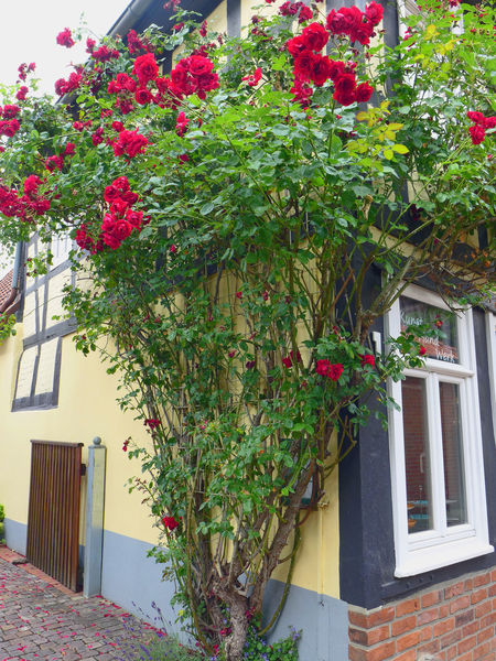 Architecture Beauty In Nature Blossom Botany Bouldering Built Structure Cobblestone Flower Fragility Freshness Green Color Just Around The Corner KopfSteinPflaster No People Pink Color Plant Roses Streetphotography Walking Around The City