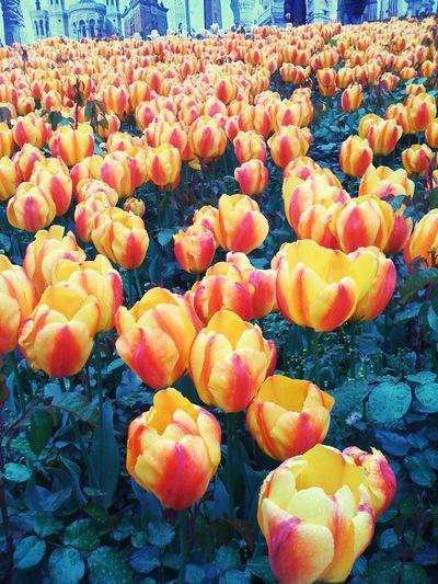 Tulip season for Istanbul