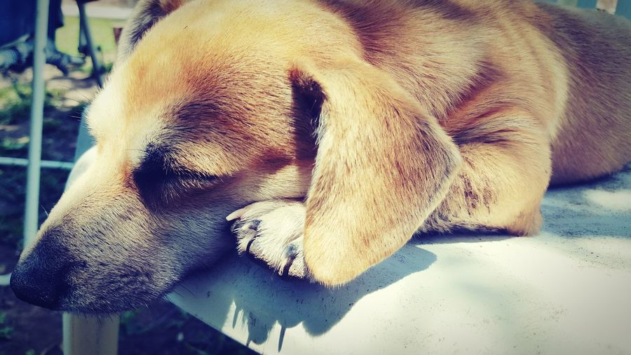 One Animal Animal Themes Mammal Close-up Domestic Animals No People Day Dog Pets Outdoors Mydog♡ Beautifull Animal Sleeping Tiredpuppy Summer