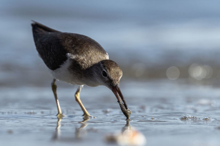 Curious young spotted sand piper hunts for breakfast on an early morning in Costa Rica Animal Themes Animal One Animal Animal Wildlife Bird Animals In The Wild Vertebrate Water Selective Focus Nature No People Day Full Length Hunting Sea Outdoors Animals Hunting Surface Level Survival Drinking