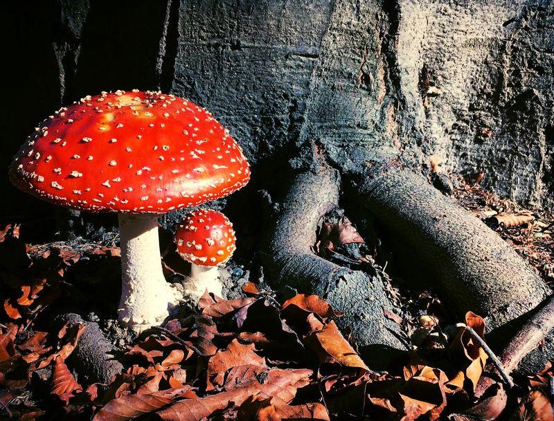 Wild Mushrooms. Basidiomycota Amanita Muscaria Beauty In Nature Fly Agaric Fly Agaric Mushroom Fungi Fungi On Tree Fungus Mushroom Nature Outdoors Poisonous Mushrooms Red Red Mushroom Toadstool