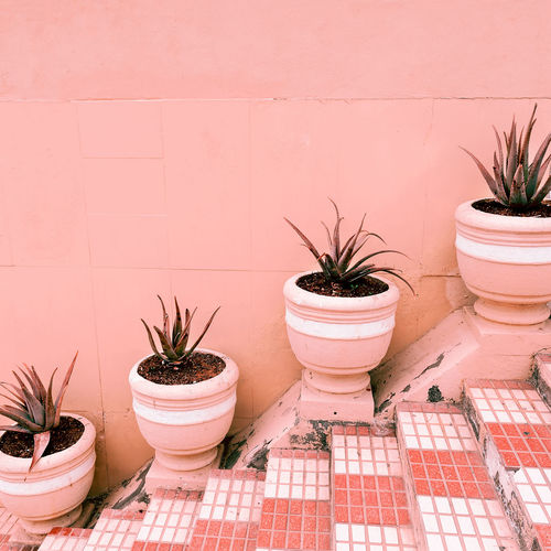 Plants on pink concept. aloe on pink background wall. minimal plant art