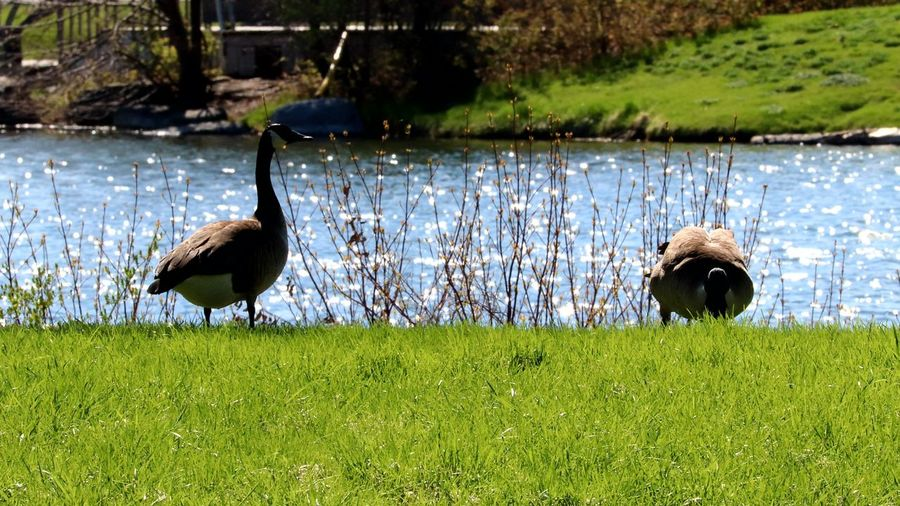 Canadian geese Canadian Geese Animals In The Wild Beak Animal Wildlife Gooses Family Geese Geese Photography