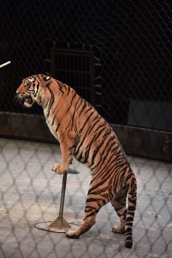 tiger Tiger Animals Love Life Weekend Traveling