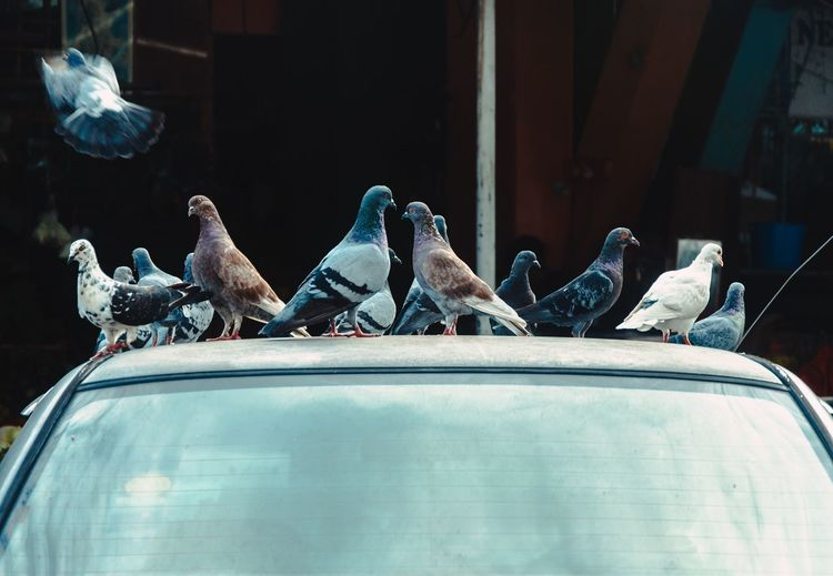Close-up of birds perching on car roof