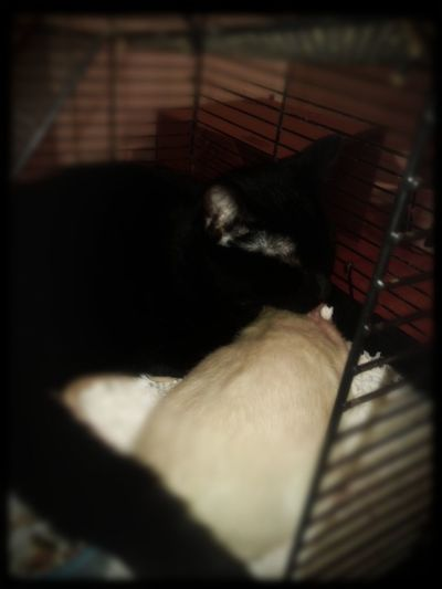 Cat And Rat Opposites Attract Soft Focus Vignette Cat In Rat Cage Cat And Rat Cuddling Rat Cage Pet Bonding