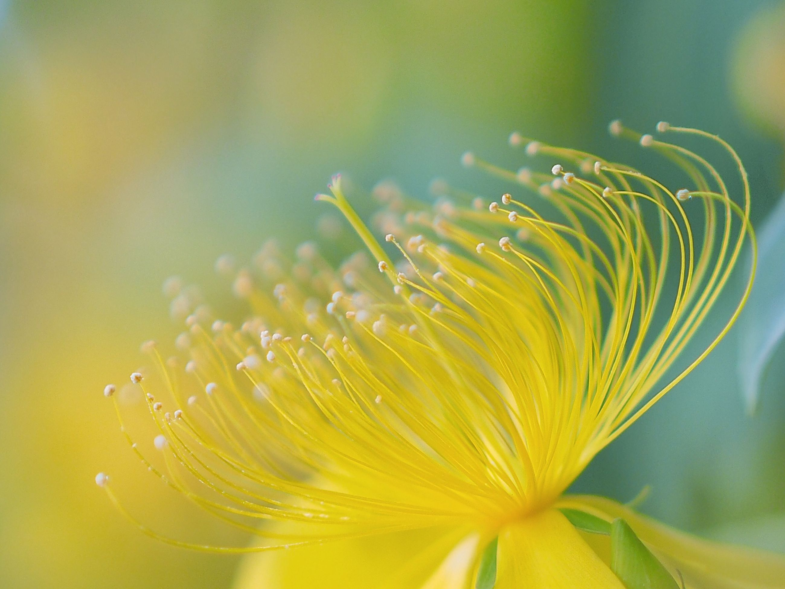 freshness, flower, growth, fragility, close-up, yellow, beauty in nature, nature, petal, plant, flower head, focus on foreground, water, drop, selective focus, wet, single flower, outdoors, blooming, day