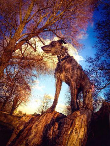 Enjoying Life Lurcher Sighthound I Love My Dog Bushy Park LEO... The One Eyed Lurcher... London