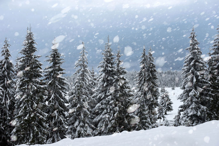 Snow covered pine trees in forest during snowfall