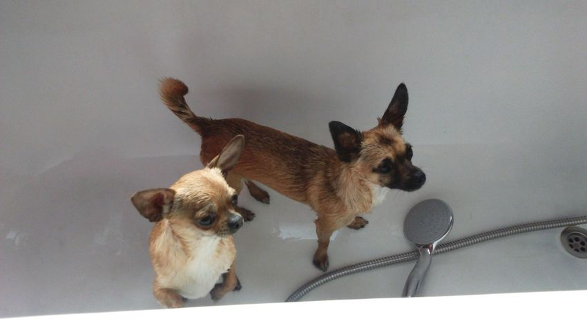 Two Is Better Than One Two Dogs Dogs Chihuahuas Chihuahuamix Small Dogs  Little Dogs Dogs Of EyeEm EyeEm Dogs Bath Time Bathtime Bath Pampered Pets Wet Dogs Canine Animal Themes Cute Cute Dogs Cute Pets Cute Dog Chihuahua Dog In Bath Shower Head What You Looking At? Landscape Chihuahua