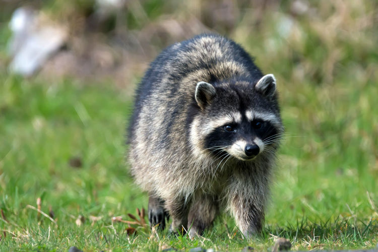 Close-Up Of Racoon On Field
