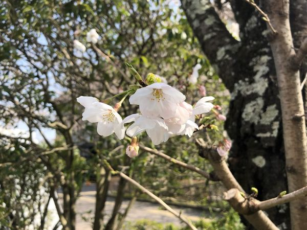 Cherry Blossoms Spring In Japan Blossom Flowers Focus On Foreground No People Springtime White Color