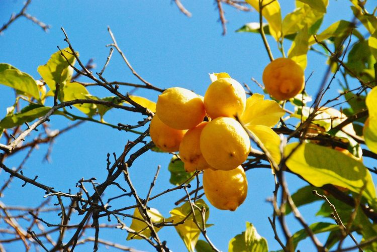 Lemon Lemon Tree Fruit Plant Healthy Eating Tree Food Food And Drink Growth Low Angle View Branch Yellow No People Nature Sky Fruit Tree Freshness Leaf Plant Part Citrus Fruit Sunlight Day