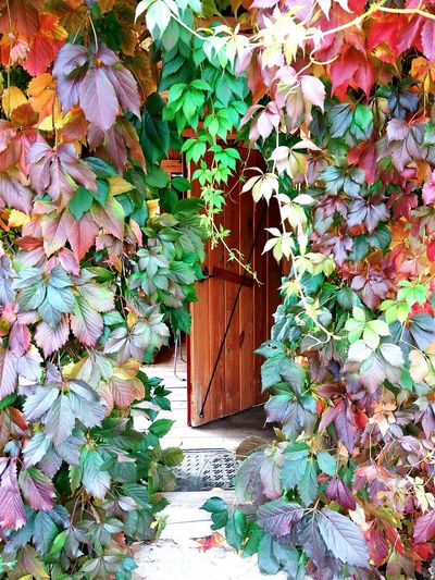 Leaf Growth Day Plant No People Outdoors Ivy Nature Branch Tree Beauty In Nature Architecture Building Exterior Autumn Collection Autumn Leaves Autumn Colors Foliage Green Purple Nature Beauty In Nature Plant Autumn Door Multi Colored Colour Your Horizn