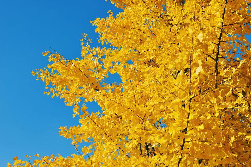 Autumn Leaves Korea Bundang