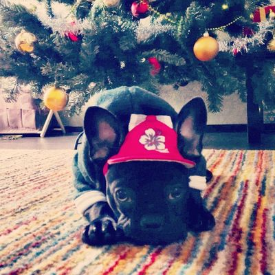 I am a Christmas flower :)) Frenchie Frenchbulldog Fab_frenchies Maya love