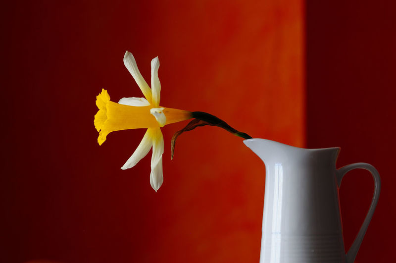 Nada como la luz natural Beauty In Nature Close-up Flower Flower Head Flowering Plant Fragility Freshness Indoors  Inflorescence Nature No People Petal Pitcher - Jug Plant Red Still Life Studio Shot Vase Vulnerability  Yellow EyeEmNewHere The Still Life Photographer - 2018 EyeEm Awards
