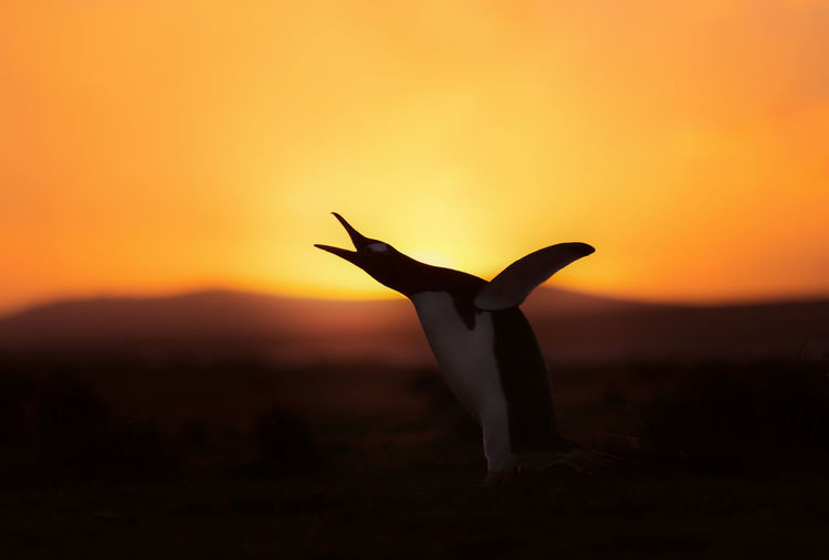 Close-up of silhouette bird on land against sky during sunset