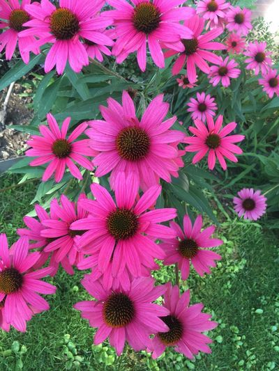 Echinacea Flower Flowering Plant Plant Freshness Petal Fragility Vulnerability  Pink Color