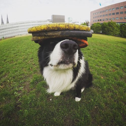 Frisbee dog Frisbee Dog Frisbee Cute Pets Cute Dog  Border Collie Cuteness Dog With Hat Pets Domestic Domestic Animals Mammal One Animal Canine Dog Portrait Grass No People