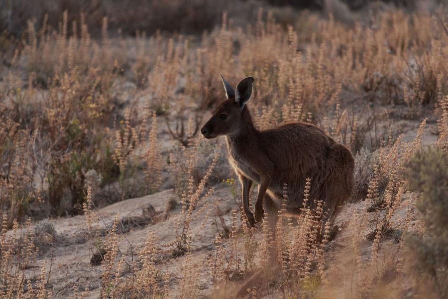 Animals In The Wild Australia National Park Animal Themes Animal Wildlife Arid Climate Day Design Grass Kangaroo Mammal Nature No People One Animal Outdoors Standing