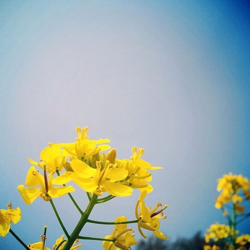 Flower Sky Igersjp Inpoke 菜の花 一心行