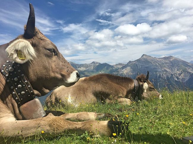 Domestic Animals Mammal Animal Themes Livestock Cow Cattle Sky No People Day Mountain Field Cloud - Sky Nature Outdoors Grass Beauty In Nature Lenzerheide Switzerland Postcode Postcards Rethink Things