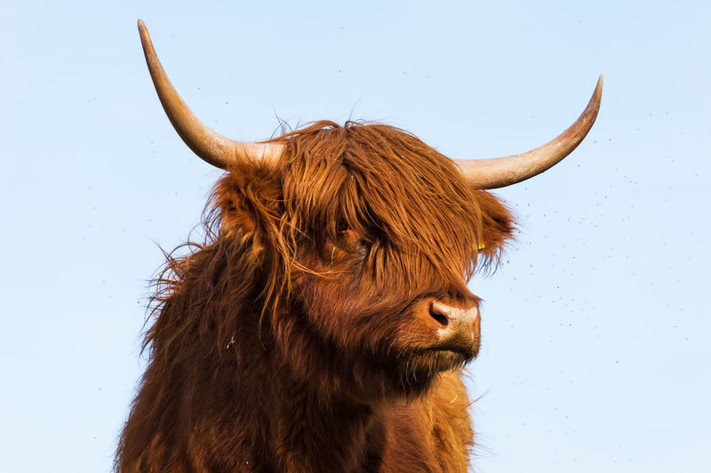 Highland cattle on meadow with clear sky
