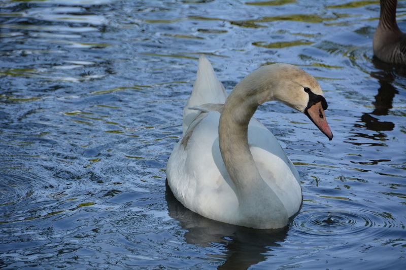 06.05.2016 Animal Animal Themes Avian Beak Beauty In Nature Bird Close-up Day Lake Mallard Duck Nature No People Outdoors Rippled Swan Swimming Water Water Bird Waterfront Wildlife