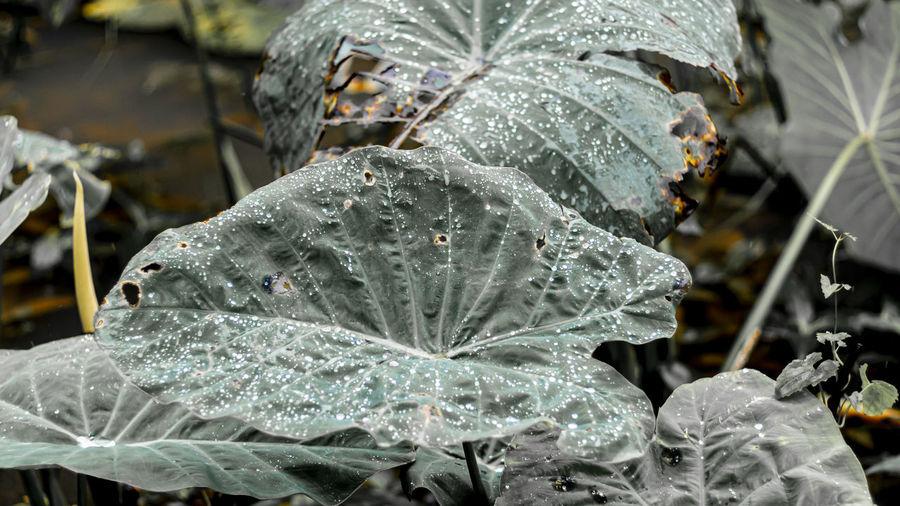 Green Dew Rain