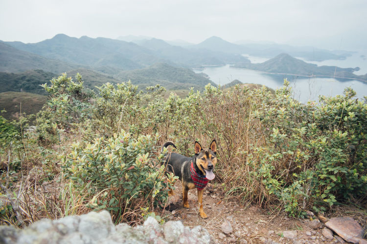 Dog panting while standing on mountains against sky