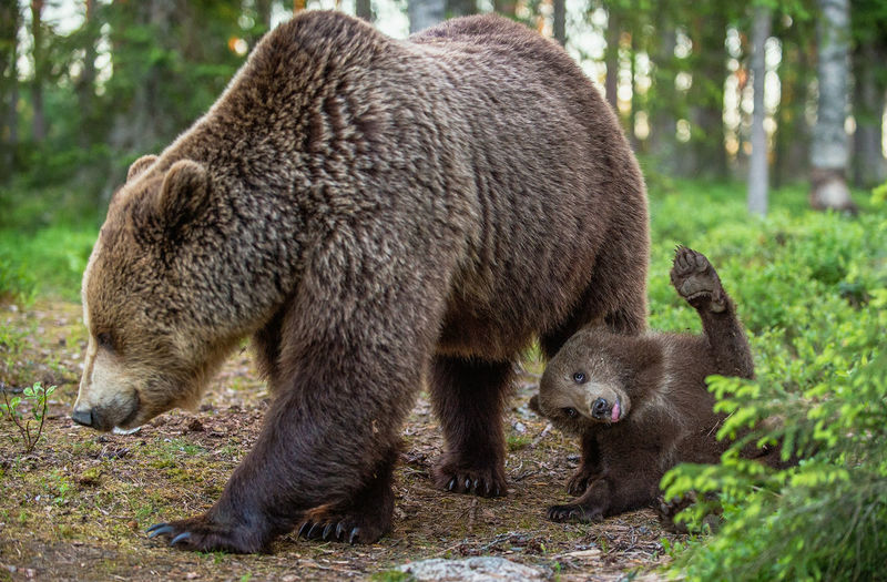 Bear with cub in forest