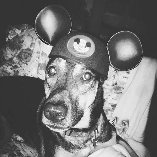 Dave! Germanshepherdlovers Dogswithhumannames Germanshepherd
